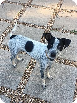 Blue Heeler Mix Dog for adoption in Austin, Texas - Cece