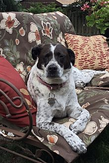 German Shorthaired Pointer Mix Dog for adoption in Atlantic Highlands, New Jersey - Lexi