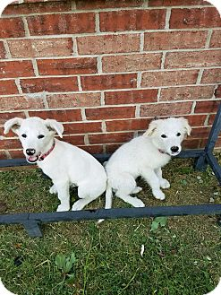 Great Pyrenees Mix Puppy for adoption in Broken Arrow, Oklahoma - Alfie