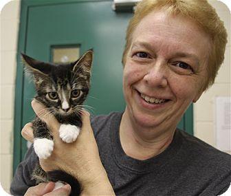 Domestic Shorthair Kitten for adoption in Elyria, Ohio - Jake