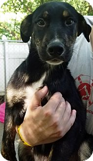 Shepherd (Unknown Type) Mix Puppy for adoption in Kalamazoo, Michigan - Isaac
