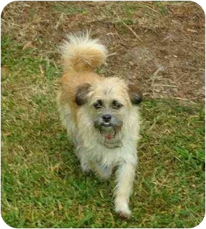 Border Terrier Mix Dog for adoption in Cocoa, Florida - Scampi