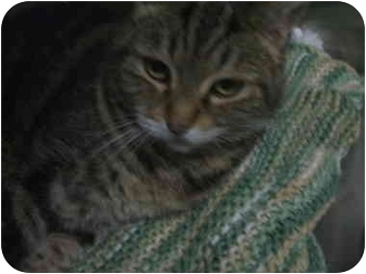 Domestic Mediumhair Cat for adoption in Castro Valley, California - Sweetie