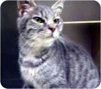 Domestic Shorthair Cat for adoption in Albany, Georgia - Nikki