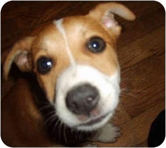 Australian Shepherd/Beagle Mix Puppy for adoption in Plainfield, Connecticut - SKY KING