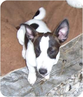 Jack Russell Terrier Mix Puppy for adoption in Paintsville, Kentucky - Punky