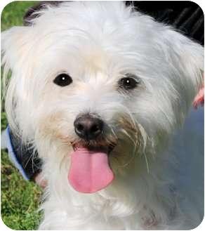 Poodle (Miniature)/Maltese Mix Dog for adoption in Wakefield, Rhode Island - BOB