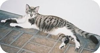 Domestic Shorthair Cat for adoption in Miami, Florida - Zoe
