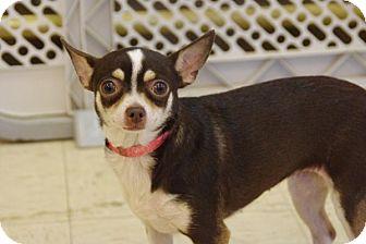 Chihuahua Dog for adoption in Elyria, Ohio - Nina