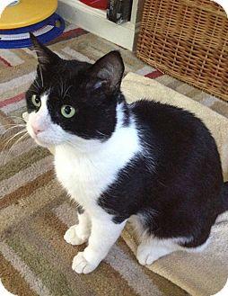 Domestic Shorthair Cat for adoption in N. Billerica, Massachusetts - Finneas