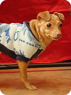 Chihuahua/Dachshund Mix Dog for adoption in Youngwood, Pennsylvania - Misty
