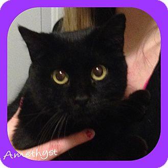 Domestic Shorthair Cat for adoption in O'Fallon, Missouri - Amethyst
