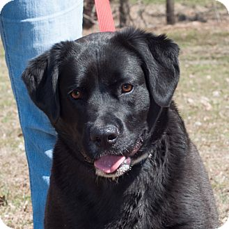Labrador Retriever/Border Collie Mix Dog for adoption in New Martinsville, West Virginia - Molly