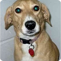 Adopt A Pet :: Heidi - Toronto/Etobicoke/GTA, ON