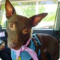 Adopt A Pet :: Mocha good w cats and nice kid - Sacramento, CA