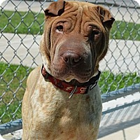 Adopt A Pet :: Sheldon Duke - Houston, TX