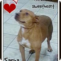 Adopt A Pet :: Sweet as Pie Sasha - plano, TX