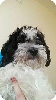 Poodle (Miniature)/Shih Tzu Mix Dog for adoption in Chicago, Illinois - Paisley