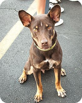 Cattle Dog Mix Dog for adoption in Las Vegas, Nevada - Remi
