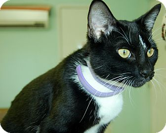 Domestic Shorthair Cat for adoption in Bradenton, Florida - Spike