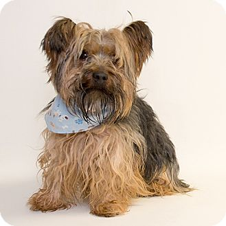 Yorkie, Yorkshire Terrier Dog for adoption in Troy, Ohio - Jiggy- Adopted