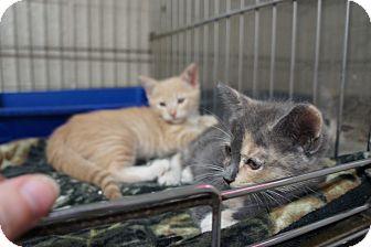 Domestic Shorthair Kitten for adoption in Henderson, North Carolina - Pixar Kittens (2)*