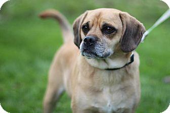 Beagle/Pug Mix Dog for adoption in Midland, Michigan - Axel