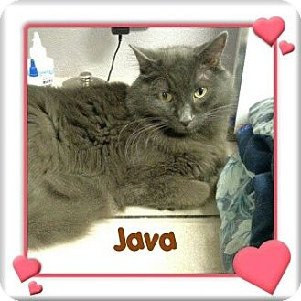 Domestic Longhair Cat for adoption in New Richmond,, Wisconsin - Java - Zero Adoption Fee