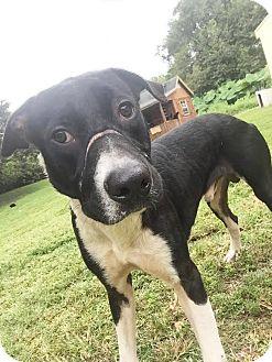 Great Dane/Labrador Retriever Mix Dog for adoption in Boca Raton, Florida - TJ