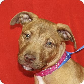 Pit Bull Terrier Mix Puppy for adoption in Jackson, Michigan - Diane