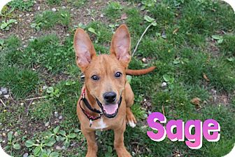 Shepherd (Unknown Type)/Boxer Mix Puppy for adoption in Pompton Lakes, New Jersey - sage