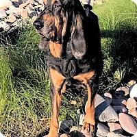 Adopt A Pet :: Simply Luke - Dallas, TX
