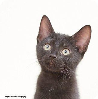 Domestic Shorthair Kitten for adoption in Nashville, Tennessee - Taz