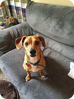 Dachshund/Miniature Pinscher Mix Dog for adoption in Hermitage, Tennessee - Charlie