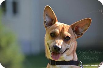 Chihuahua Dog for adoption in Fairfield, Ohio - Conner