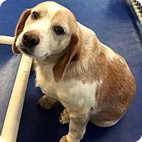 Adopt A Pet :: Lemon/White sweet Beagle mix - New Kent, VA