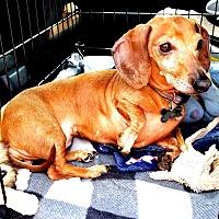 Adopt A Pet :: Jenny - Portland, OR