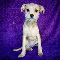 Adopt A Pet :: Gwen - Fredericksburg, TX