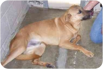 Labrador Retriever Mix Dog for adoption in Osceola, Arkansas - Conrad