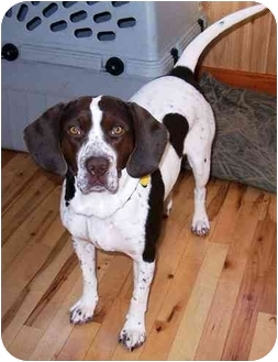 German Shorthaired Pointer/English Springer Spaniel Mix Dog for adoption in Osseo, Minnesota - Shelby