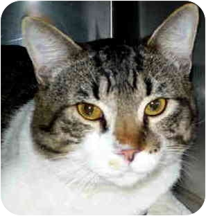 Domestic Shorthair Cat for adoption in San Clemente, California - ROSCOE
