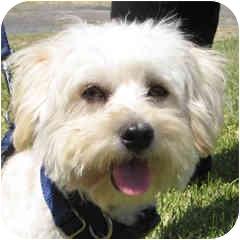 Bichon Frise Mix Dog for adoption in La Costa, California - Maxey