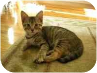 Domestic Shorthair Kitten for adoption in Tampa, Florida - Annie