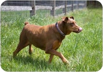 Doberman Pinscher Dog for adoption in Greensboro, North Carolina - Salsa