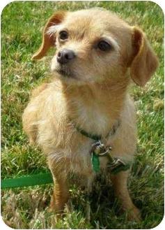 Dachshund Mix Dog for adoption in La Habra Heights, California - Perfect Pumpkin