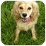 Photo 4 - Cocker Spaniel Dog for adoption in Windham, New Hampshire - Anna