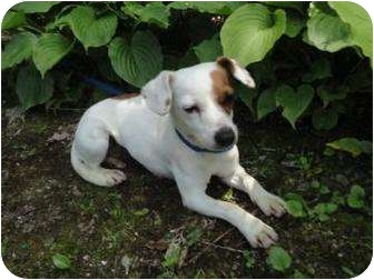 Jack Russell Terrier Mix Dog for adoption in Spruce Pine, North Carolina - Shelly