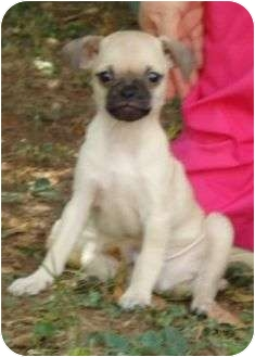 Pug Mix Puppy for adoption in P, Maine - Simba