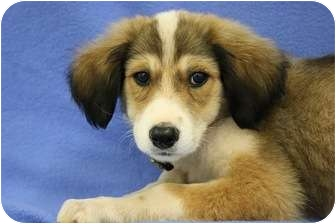 Australian Shepherd/Border Collie Mix Puppy for adoption in Broomfield, Colorado - Kirby