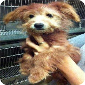 Maltese/Silky Terrier Mix Puppy for adoption in Houston, Texas - RuPaul